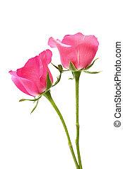 dos, rosas rosa, blanco, plano de fondo