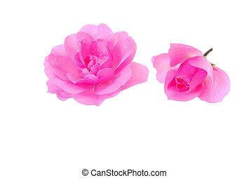 dos, rosas rosa, blanco