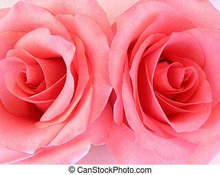 dos, rosas rosa, macro