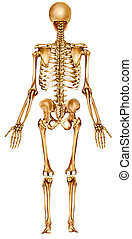 dos, squelette, vue