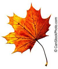 doskonały, jesienny, klonowy liść