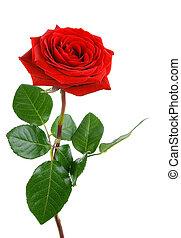 doskonały, róża, biały czerwony
