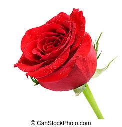 doskonały, róża, czerwony
