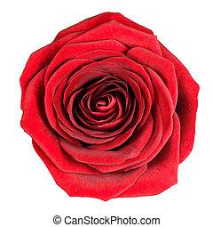 doskonały, róża, odizolowany, biały, flowerhead, czerwony