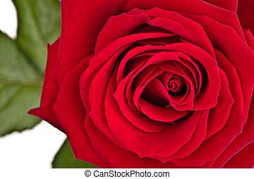 doskonały, róża, odizolowany, liście, dokumentnie, zielone tło, biały czerwony
