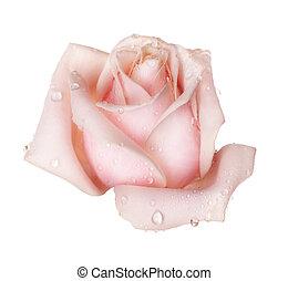 doskonały, róża, odizolowany, na białym