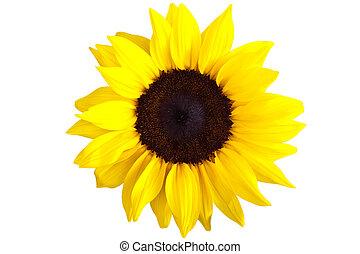doskonały, słonecznik, odizolowany, dokumentnie, tło, biały