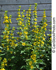Dotted loosestrife at wooden wall