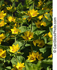 Dotted loosestrife in garden bed