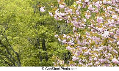 Double cherry blossoms - Pink double cherry blossoms in...