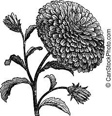 Double China Aster or Callistephus chinensis vintage engraving