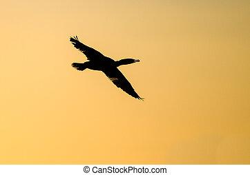 double-crested, cormoran, volare, in, il, vibrante, cielo tramonto