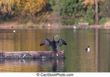 double-crested, cormorant
