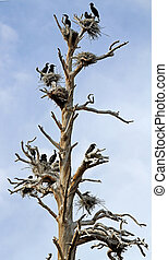 Double-crested Cormorant Nests
