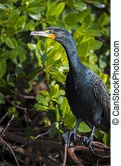 double-crested cormorant Phalacrocorax auritus profile close-up