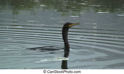 Double-crested Cormorant Swimming - Double-crested Cormorant...