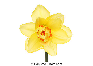 Double Daffodil flower