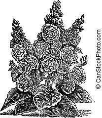 Double dwarf hollyhocks or Alcea rosea vintage engraving.