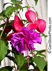Double-flowered Fuchsia