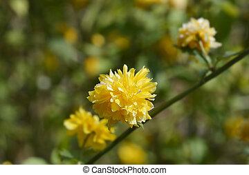 Double-flowered Japanese Kerria - Latin name - Kerria ...