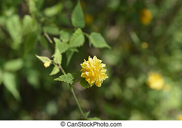 Double-flowered Japanese rose - Latin name - Kerria japonica...