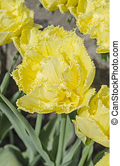Double flowered yellow tulip - Close up of double flowered ...