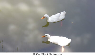 Double gooses and fish in the pond