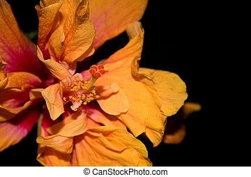 Double Hibiscus