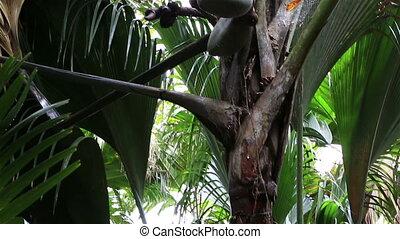 Double nut of Coco de mer. Vallee de Mai Nature Reserve in...