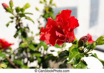 Double Red Hibiscus Flower