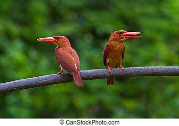 Ruddy Kingfisher - Double Ruddy Kingfisher on perch