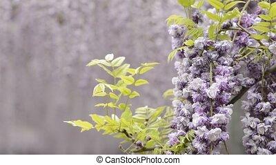 Double wisteria flowers - Double purple wisteria flowers in...