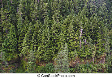 Douglas firs in Pacific Northwest forest