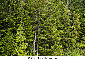 Forest of douglas firs in the pacific northwest.