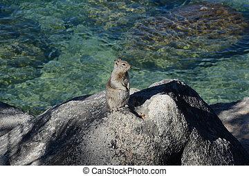 Douglas Squirrel At Lake Tahoe Nevada