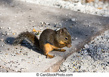 Douglas squirrels