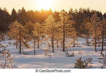 dourado, amanhecer, em, pântano, em, inverno, manhã