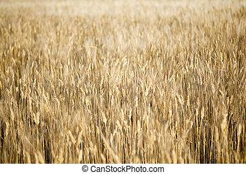dourado, campo, de, trigo