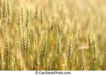 dourado, cevada, campo