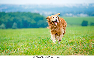 dourado, executando, cão, retriever
