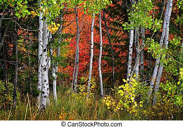 dourado, folhas, árvores vidoeiro, outono