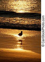 dourado, gaivota, oceânicos