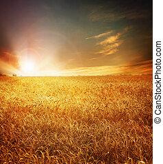 dourado, trigal, e, pôr do sol