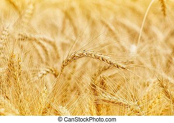 dourado, trigo, ensolarado, campo, closeup, dia