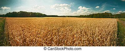 dourado, trigo, panorâmico, field., fundo, agrícola, paisagem