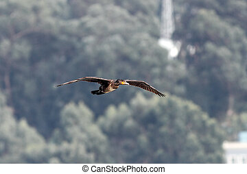 douro, cormoran, sur, rivière, vol