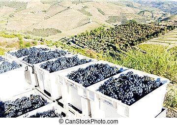 douro, vallée, récolte, portugal, vin
