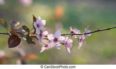 doux, fleur, sakura, arrière-plan pastel, cerise, colors., ...