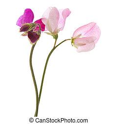 doux, fleurs, pois