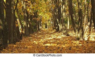doux, jaune, brouillé, automne, terrestre, paysage., rangées, faire, prise vue., foyer., arrière-plan., forêt, au-dessus, couvert, voyante, arbres, sélectif, voûte, baissé, leaves., forest., path.